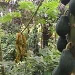Papaya in Bolivia