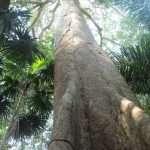 Oje Amazon Tree