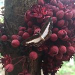 Butterfly and Chocolate tree