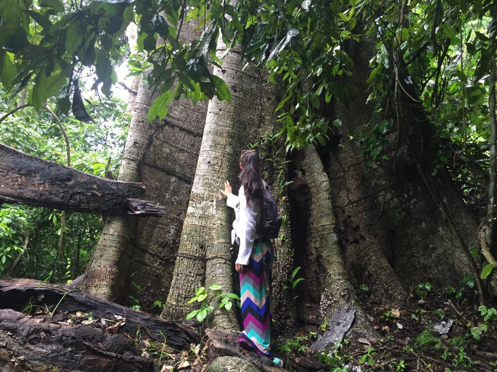 Giant trees of the Bolivian Amazon