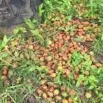 palmera motacu fruta