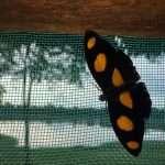 Mariposas de Bolivia