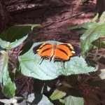 Schmetterling Dschungle Amazon