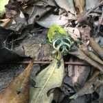 Insecto de Bolivia