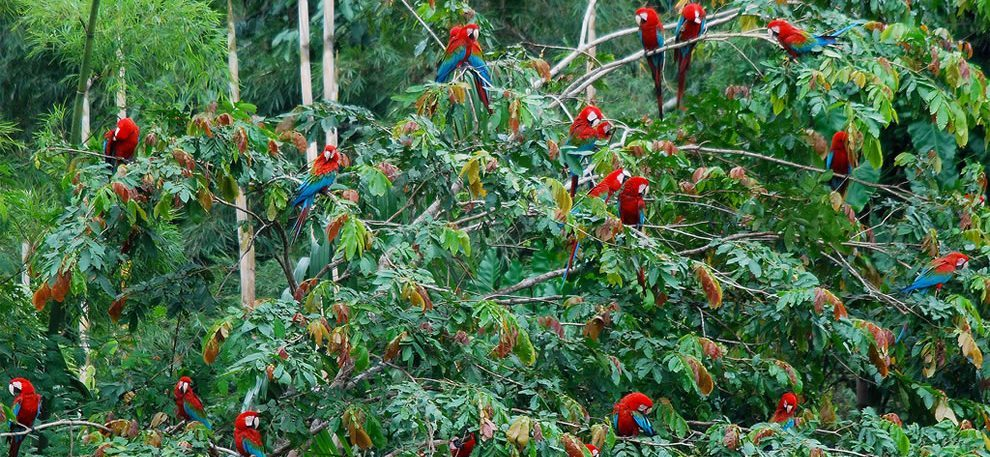 Macaws-Bolivian-Amazon