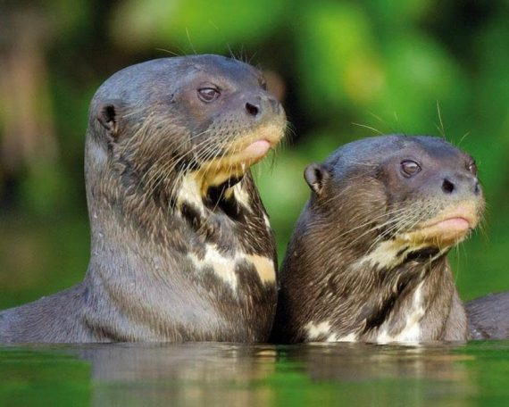 Giant Amazon Otters in Bolivia