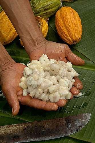 Cocoa in Bolivia