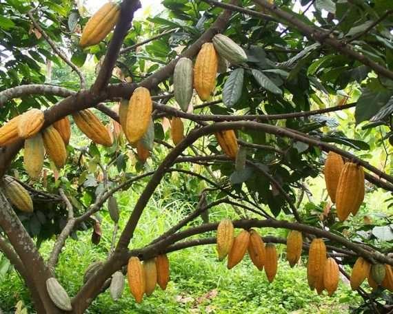 Bolivian Cocoa Plantation